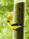 Closeup Pair of Yellow Finches at Feeder. Male female migrating birds bright color stock photography