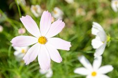 A closeup pale-pink flower named COSMOS royalty free stock photo