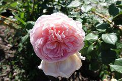 Closeup of pale pink flower of rose in June royalty free stock image