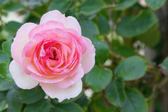 Closeup of pale pink rose blossoming in the garden Stock Image