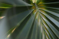 Closeup of palm branch Stock Photography