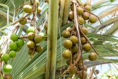 Closeup palm fruits Stock Photos