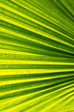 Closeup of palm leaf Royalty Free Stock Images