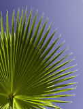 Closeup of palm leaf. Shot in the blue clear sky Stock Photography