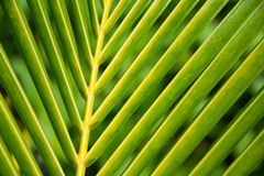 Closeup of a palm leaf Stock Photos