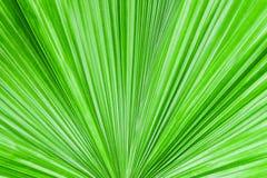 Closeup palm leaf texture. Closeup palm leaf texture for wallpaper Stock Photo