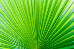 Closeup palm leaf texture. Closeup palm leaf texture for wallpaper Royalty Free Stock Photography
