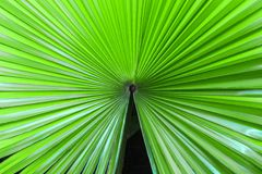 Closeup palm leaf texture. Closeup palm leaf texture for wallpaper Royalty Free Stock Image