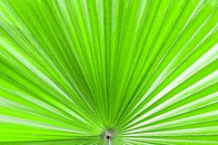 Closeup palm leaf texture. Closeup palm leaf texture for wallpaper Royalty Free Stock Photos