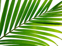 Closeup of palm leaves Royalty Free Stock Images
