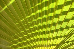 Closeup of palm trea leaf Royalty Free Stock Image