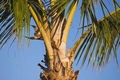 Closeup of Palm Tree. Close up of palm tree where golden husks meet the trunk, blue sky behind Stock Photos