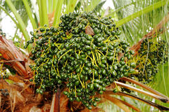 Closeup of the palm tree fruits Stock Images