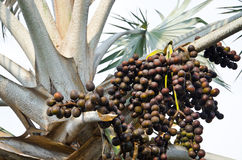 Closeup of the palm tree fruits Royalty Free Stock Photography