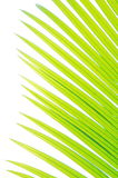 Closeup palm tree leaf Stock Photography