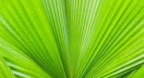 Closeup of palm tree leaf Royalty Free Stock Image