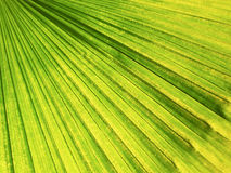 Closeup of palm tree leaf pattern Royalty Free Stock Images