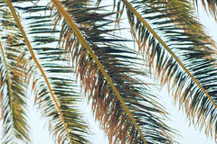 Closeup palm tree leafes in summer Royalty Free Stock Photo