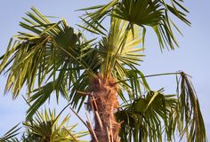 Closeup of a palm tree Stock Photography