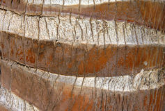 Closeup of Palm Tree Trunk Stock Image