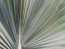 Closeup of palmetto leaf abstract texture pattern background. Closeup of palmetto leaf abstract textured pattern background wallpaper Royalty Free Stock Photo