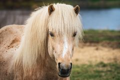 Closeup of a palomino colored Icelandic horse. Standing in the pen with ears front and blue water in the background Stock Photos