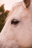 Closeup of a Palomino horse face Stock Images