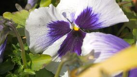 Closeup Pan Pansy white flowers with dew drops