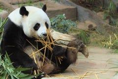 Closeup Panda is eating bamboo trees and bamboo royalty free stock photo