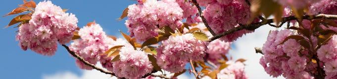 Closeup panorama of pink Japanese cherry tree over blue sky. Panorama with closeup of pink Japanese cherry tree branch over blue sky in sunny springtime for stock photo