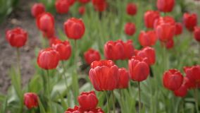 Red Tulips on the wind in the garden. Closeup panoramic shot of Red Tulips on the wind in the garden stock footage