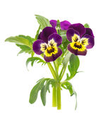 Closeup of pansy isolated on white Stock Photo