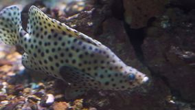 Closeup of a panther grouper swimming under water, popular tropical fish specie from the indo-pacific ocean. A closeup of a panther grouper swimming under water stock video