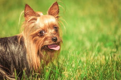 Closeup of a panting yorkshire terrier puppy dog. Side view of a panting yorkshire terrier puppy dog with mouth open looking at the camera, closeup picture Royalty Free Stock Photo