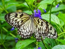 Closeup of a paper kite or white tree nymph butterfly. Papiliorama Royalty Free Stock Photography