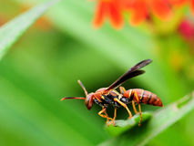 Closeup of a Paper Wasp Royalty Free Stock Photography