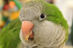 Closeup of parrot Royalty Free Stock Photo
