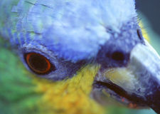 Closeup of a parrot. I made this closeup with a tripod in a bird park near the national park Foz do Iguaçu - Brazil Royalty Free Stock Photography