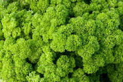 Closeup of parsley Stock Photos