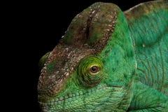 Closeup Parson Chameleon, Calumma Parsoni Orange Eye  on Black Stock Images