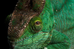 Closeup Parson Chameleon, Calumma Parsoni Orange Eye  on Black Stock Photos