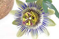 Blue passion flower royalty free stock image