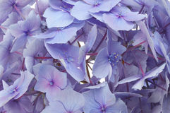 Hydrangea flower closeup Stock Photos