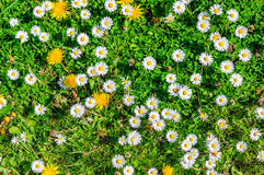 Closeup of pasture in the spring season seen from above. Closeup of colorful budding, blossoming and overblown wild plants in a small piece of grassland in Stock Photography