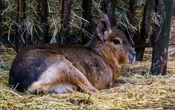 Closeup of a patagonian mara sitting in the hay, near threatened rodent specie from Patagonia. A closeup of a patagonian mara sitting in the hay, near threatened royalty free stock photos
