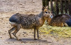 Closeup of a patagonian mara standing in the sand, Near threatened rodent specie from Patagonia. A closeup of a patagonian mara standing in the sand, Near royalty free stock image
