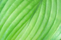 Closeup of Patterns in Hosta Leaf Stock Photo