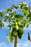 Closeup of pawpaw tree with fruits Stock Photos