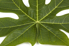 Closeup Pawpaw Tree leaf Patterns and Textures Royalty Free Stock Images