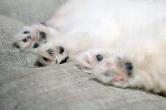 Closeup paws of sleeping Pomeranian puppy Stock Photo